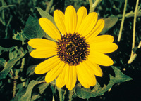 p92,sunflower.jpg